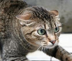 Scared Cat W Ears